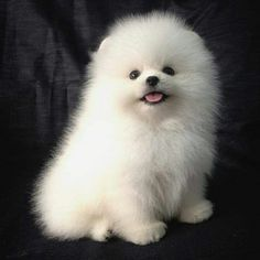 pomeranians dogs Pomeranian poofball - Thousands of good dog names from many categories. Gender specific puppy names as well as by breed, color, size and even temperament. Spitz Pomeranian, Cute Pomeranian, Pomeranians, Cute Puppies, Cute Dogs, Dogs And Puppies, Baby Animals, Cute Animals, Save A Dog