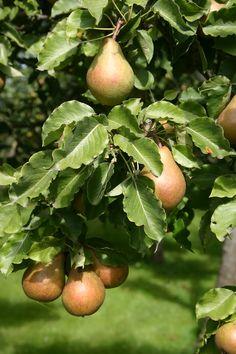 Peren in de boomgaard van Theeschenkerij The Wisple