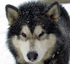 Oh Dog! Loup is the coolest Malamute ever! Next to me, of course!