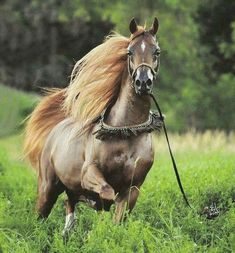 Stunning Arabian horse trotting through a meadow. Most Beautiful Horses, All The Pretty Horses, Animals Beautiful, Cute Horses, Horse Love, Horse Photos, Horse Pictures, Chow Chow, Majestic Horse