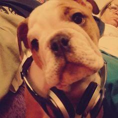 Minha goidaaa  #dolores #bulldog #dog #fone #musica #music #instadog by nathaliatrevizan