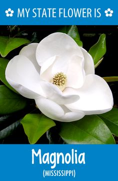 #Mississippi's state flower is the Magnolia. What's your state flower? http://pinterest.com/hometalk/hometalk-state-flowers/