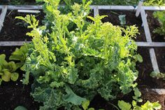 How To Grow Two Completely Different Vegetables From One Kale Plant!