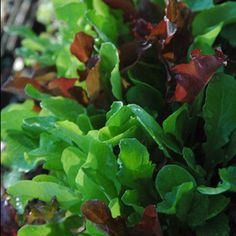Easy Guide to Growing Lettuce: Easy to grow in vegetable garden, flowerbeds, and containers Growing Lettuce, Growing Veggies, Growing Greens, Fruit Garden, Edible Garden, Vegetable Garden, Garden Plants, Gardens, Vegetable Gardening