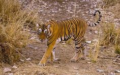 This is not only famous for its Tiger reserve but also for the famous tourist hotspot for having the adventurous trip of your life with thrill & fun altogether This national park covers the area of 130kms & the whole Ranthambore covers the wide range of area with 392kms.As the area is so wide it also contains the huge variety of animals like Bengal Tigers, leopards, different kinds of birds & also the fearful reptiles roaming here & there.