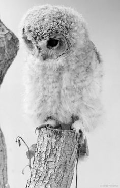 Sweet Little Owl, one of my other favorite animals. Even though I hate birds lol, they are majestic. All Gods Creatures, Cute Creatures, Beautiful Creatures, Baby Owls, Cute Baby Animals, Animals And Pets, Wild Animals, Beautiful Owl, Animals Beautiful