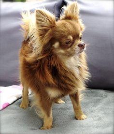 Des Minis Boss - Ferrero notre superbe chocolat Cute Baby Puppies, Long Haired Chihuahua, Chihuahua Puppies, Cute Dogs And Puppies, Baby Animals Super Cute, Cute Animals, Applis Photo, Mundo Animal, Love Pet