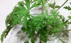 Geraniums, Love Food, Herbs, Diet, Herb, Medicinal Plants