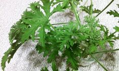 Healing Herbs, Geraniums, Love Food, Plants, Diet, Plant, Medicinal Plants, Herbal Medicine, Planets