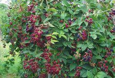 Szeder termesztése profin  http://www.hobbikert.hu/magazin/igy-termessz-a-tuskementes-szederbol-sokat.html