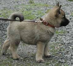 Partial myself to Norwegian Elkhounds!Such good little puppies. So quick to learn, so clever.