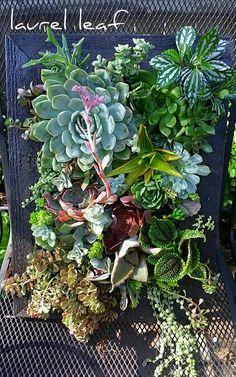 Soft succulent wall w pilea
