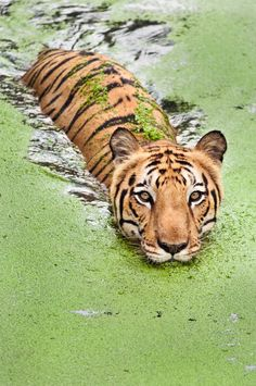 Tigers love water and are excellent swimmers. Here, in the Sundarbans National Park in India, tigers live in mangrove swamps and forests, sharing their habitat with saltwater crocodiles.