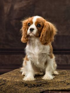 Cavalier King Charles Dog, King Charles Spaniel, Best Dog Breeds, Best Dogs, Cute Puppies, Cute Dogs, Cutest Pets, Purebred Dogs, Dog Blanket
