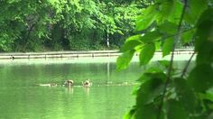 Free HD Background 4U [NO Copyright] :: Ducks Lake Nature Reflection Rel...