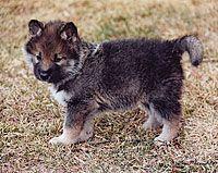 Wolf Hybrid, yes please!