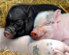 piglets..
