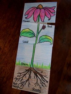 example of a science foldable   The Inspired Classroom: Plant Parts And Their Jobs; A Science Foldable