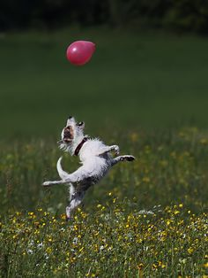 jack russell playing with balloon