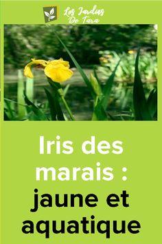 Iris des marais: jaune et aquatique