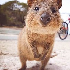 this is a quokka. it is smiling because it lives in australia.