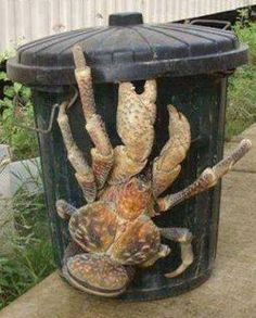 Coconut crab, the greatest of all over the world, lives in Australia.