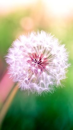 Dandelion - iPhone wallpaper @mobile9 | #nature #macro #photography