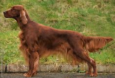 "Irish Setter. I had one as a child named ""Blaze"". One of the best dogs in the world. Would LOVE another one at any point."