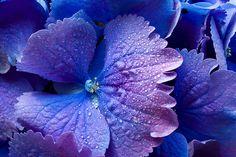 blue flower - macro...