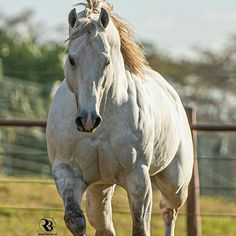 American Quarter Horse, Quarter Horses, Horse Pictures, Thoroughbred, Beautiful Horses, Pet Birds, Vintage Cars, Horror, Saddles