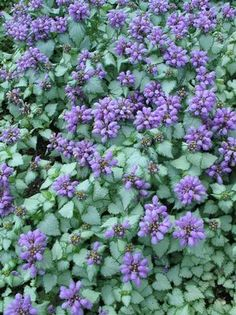 Lamium Purple Dragon Deadnettle From Prides Corner Farms