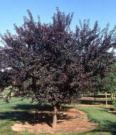 Mount St Helens Plum - 2000 Plant Select is Princess Kay (double blooms, hardy any fruit). Fruit Trees, Trees To Plant, Patio Trees, Saint Helens, Plum Tree, Flowering Trees, Outdoor Areas, Go Outside, Shrubs