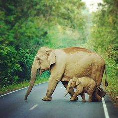#elephants  Visit our page here: http://what-do-animals-eat.com/elephants/