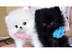 teacup pomeranian puppies for sale in colorado Zoe Fans