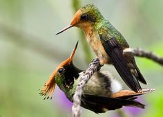 Rufus-crested coquette couple