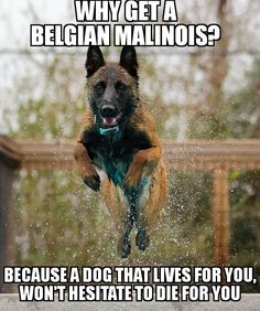 Stella didn't like dock diving, but maybe Jack would. I'd love for one of mine to be trained to do this. Protection Dog Training, Guard Dog Training, Belgian Shepherd, German Shepherd Dogs, Australian Shepherd, Berger Malinois, Belgian Malinois Dog, Pastor Belga Malinois, Belgium Malinois