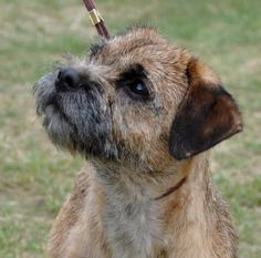 Cross this Border Terrier with a Pug and you get Wilbur!