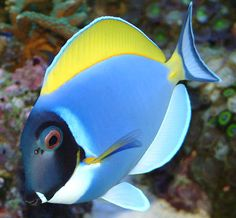 Powder Blue Tang Fish (Acanthurus leucosternon)