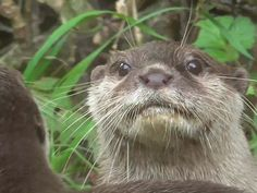 Otter is getting his faced rubbed by the other otters bum. I