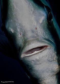 I pesci pipistrello, famiglia degli Ephippidae, sono facili da osservare e spesso si lasciano avvicinare moltissimo. Caratterizzati dalla forma del corpo molto alta e compressa, con pinne dorsale e anale fortemente simmetriche. Bocca piccola, denti a spazzola, duri, su diverse file parallele strettamente ravvicinate. Comunemente nuotano in acqua libera nelle vicinanze del reef, si possono trovare in ogni ambiente.  E voi li avete mai incontrati? Mandateci le vostre foto!