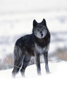 Help Gray Wolves Recover Protection Status in the northern rockies because hunting is getting out of control in states such as Idaho: http://forcechange.com/129511/help-gray-wolves-recover-protection-status/?utm_source=rss&utm_medium=rss&utm_campaign=help-gray-wolves-recover-protection-status