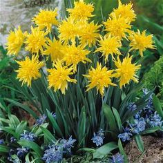 Narcissus double 'Rip van Winkle'