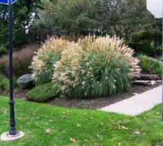 Adagio Dwarf Maiden Grass Miscanthus sinensis 'Adagio' Hundreds of plumes held above the foliage emerge bronzy-pink, fading to white. A dwarf plant with graceful, silvery-green arching foliage becomin Unusual Plants, Exotic Plants, Pool Landscape Design, Garden Design, Landscaping With Rocks, Backyard Landscaping, Landscaping Ideas, Backyard Ideas, Dwarf Plants