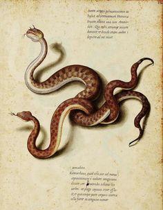 Horned Vipers, by Jacopo Ligozzi (1590)