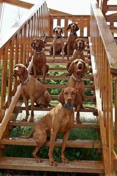 Hungarian Vizslas Hungarian Vizslas Rhodesian Ridgeback, Wirehaired Vizsla, Weimaraner, Vizsla Puppies, Vizsla Dog, Dogs And Puppies, Doggies, I Love Dogs, Cute Dogs