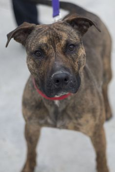 CHET...Found in CANTON, OHIO..Picked up as a stray on 1/16.  Available on 1/21.   $ 86.00 fee includes license, 4 way shot, Bordetella vaccine, flea treatment if necessary.  Some dogs are also wormed, Heartworm tested.  $50.00 goes to the cost of spay/neuter and rabies. We take...