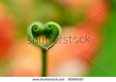 Love shape lotus leaf - stock photo