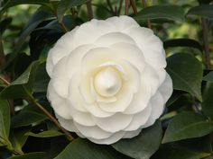 Nuccio's Gem Camellia's sparkling white, formal, double blooms contrast well with the glossy, dark green foliage. Filtered sun. Midseason. Zone: 8 – 10