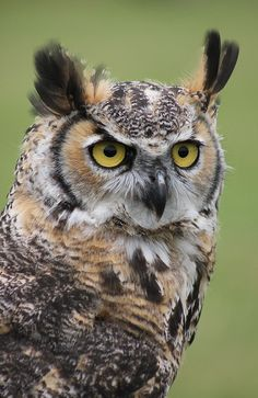 Great horned owl.                                                                                                                                                      More