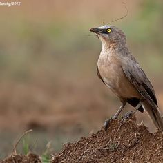 Large Grey Babbler -India and Nepal | By Anantha Murthy